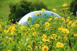 Durchwachsene Silphie: Die Biogas-Alternative zu Mais